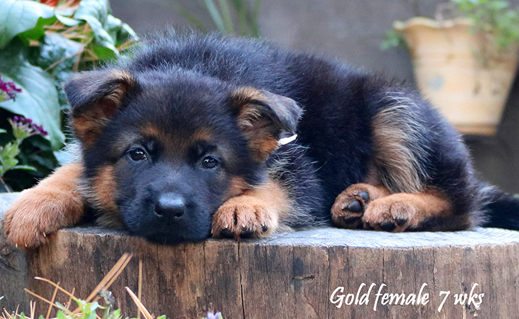 Solo x Philly - 7 Weeks Gold Collar Female 2