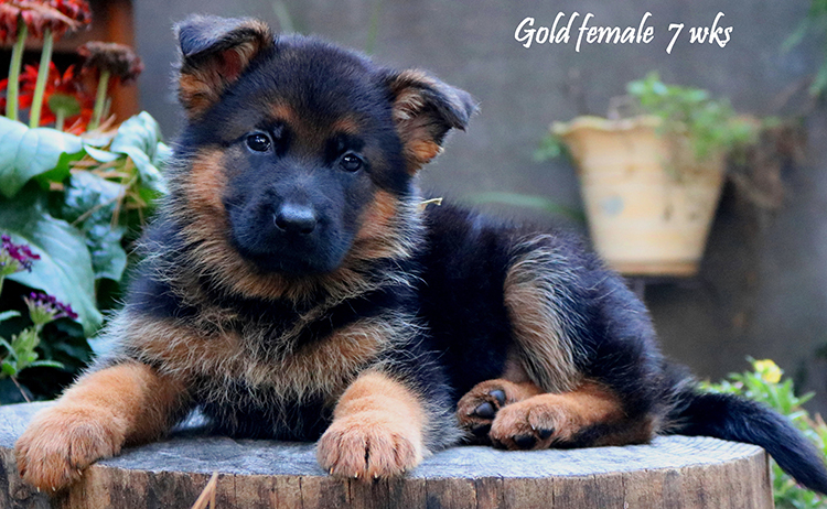 Solo x Philly - 7 Weeks Gold Collar Female