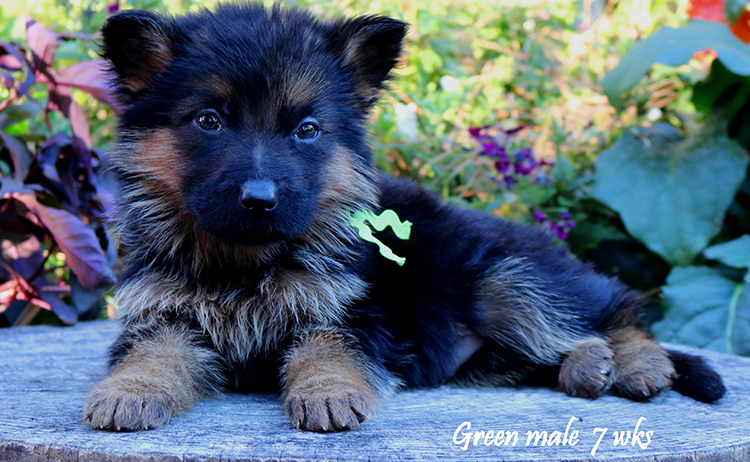 Solo x Philly - 7 Weeks Green Collar Male