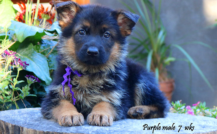 Solo x Philly - 7 Weeks Purple Collar Male New