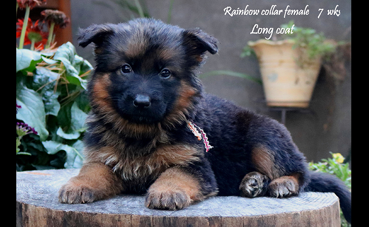 Solo x Philly - 7 Weeks Rainbow Collar Female