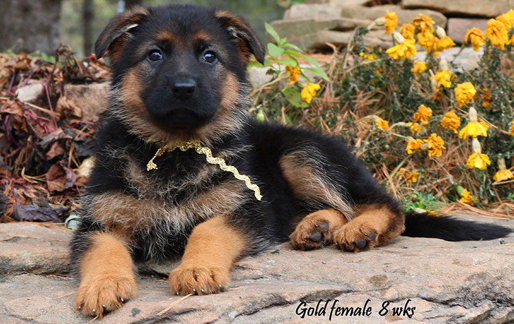 Solo x Philly - 8 Weeks Gold Collar Female