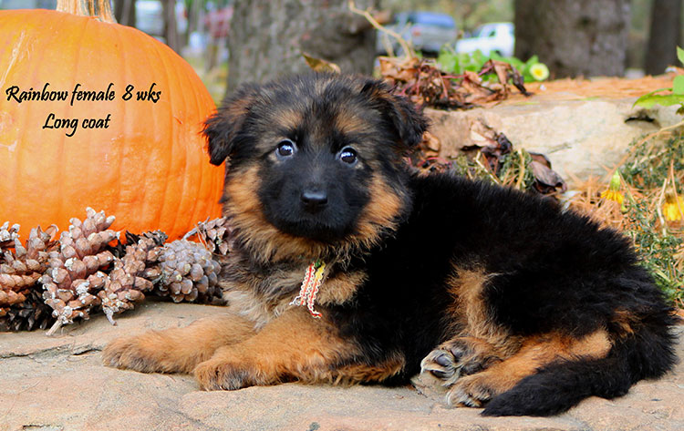 Solo x Philly - 8 Weeks Rainbow Collar Female
