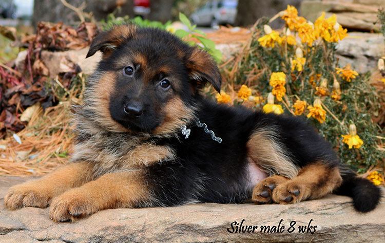 Solo x Philly - 8 Weeks Silver Collar Male 1