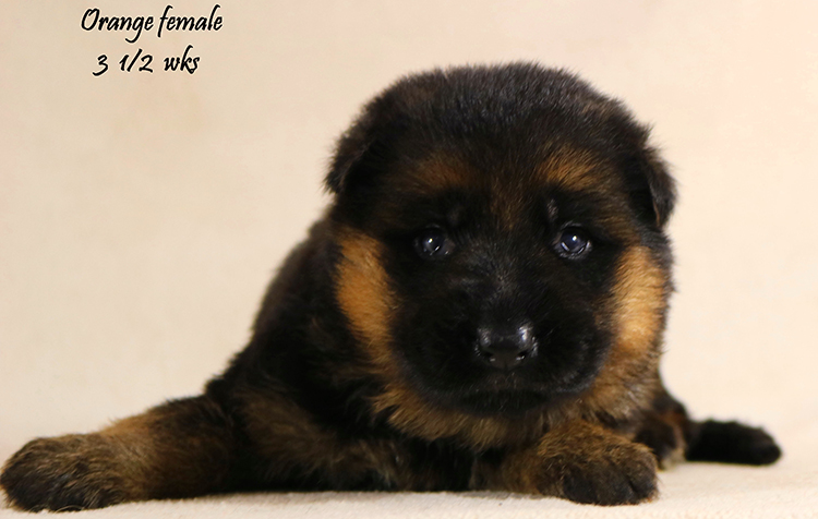 Solo x Vanna - 3 and Half Orange Collar Female