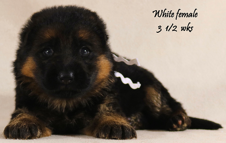 Solo x Vanna - 3 and Half White Collar Female