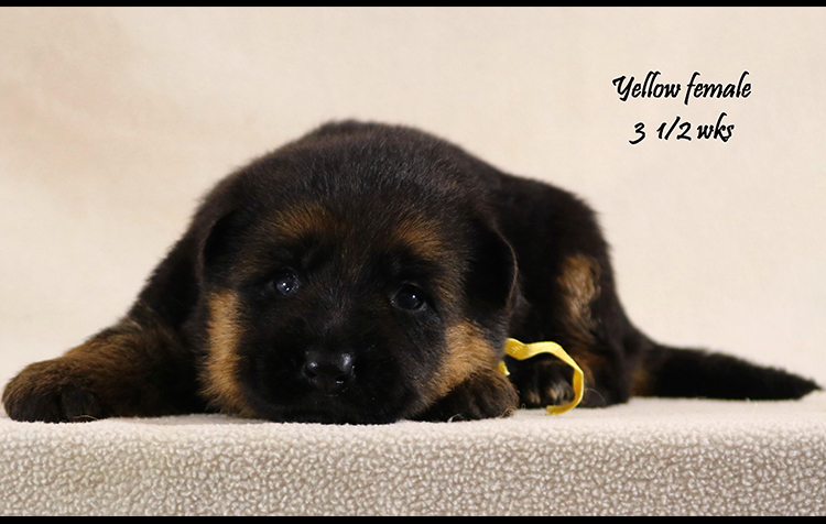 Solo x Vanna - 3 and Half Yellow Collar Female