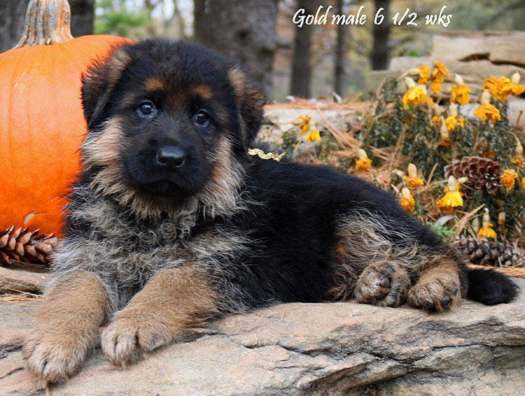 Solo x Vanna - 6 and Half Week Gold Collar Male