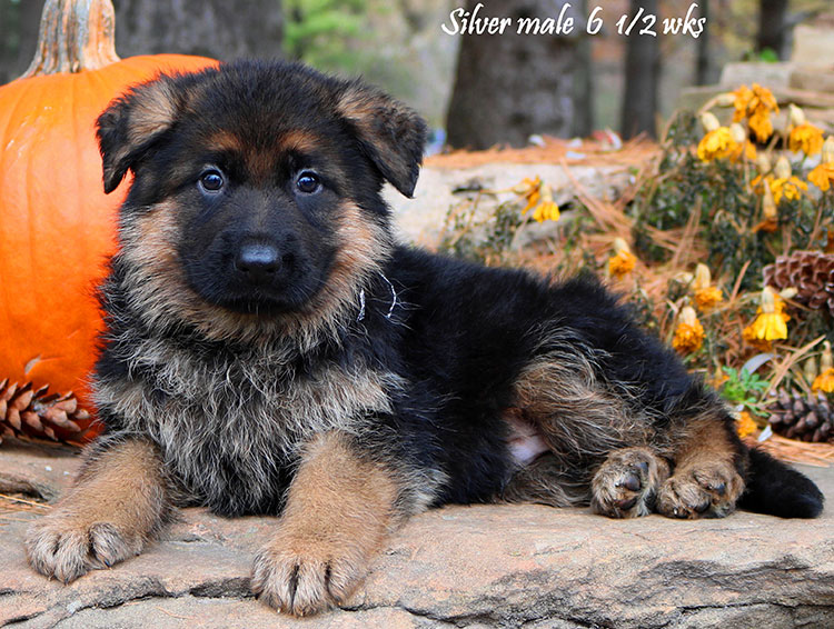 Solo x Vanna - 6 and Half Week Silver Collar Male