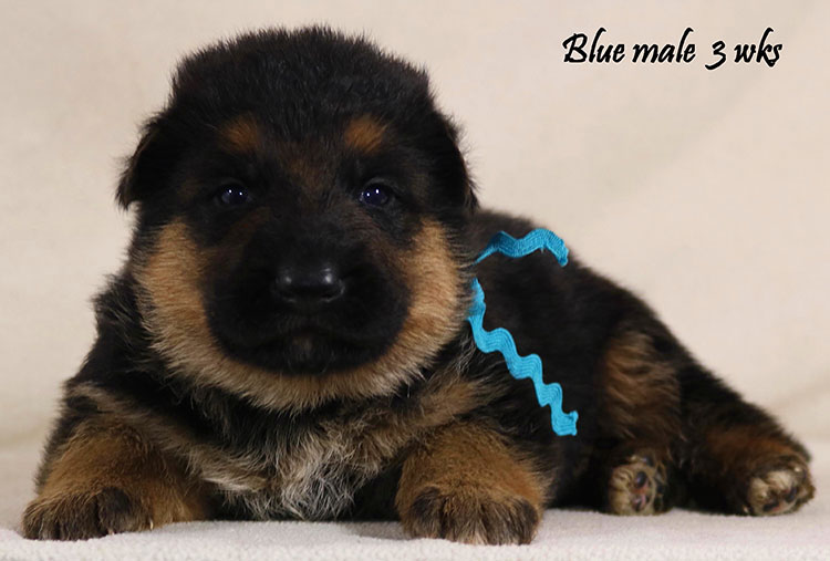Thiago x Ivanka - 3 Weeks Blue Collar Male
