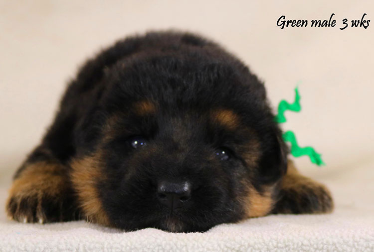Thiago x Ivanka - 3 Weeks Green Collar Male
