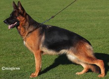 Breeding Female - Margit vom Mittelwest Sch3 KKL