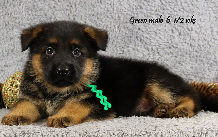 Cira x Obi - 6 and Half Week Green Collar Male