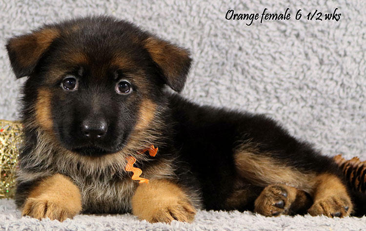 Cira x Obi - 6 and Half Week Orange Collar Female
