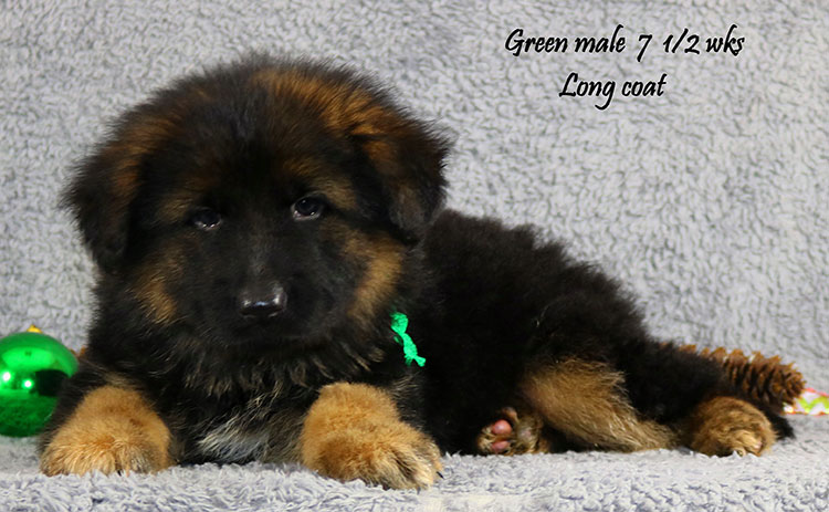Ikon x Xtra - 7 and Half Week Green Collar Male