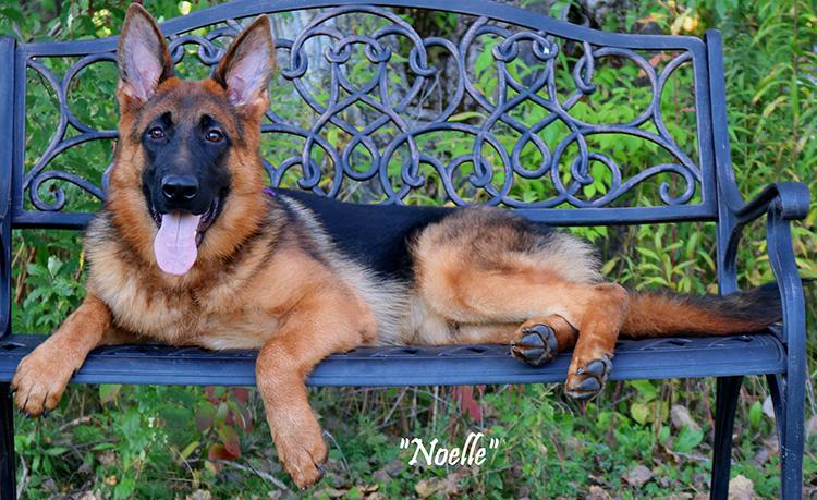Mittelwest Female For Sale - Noelle