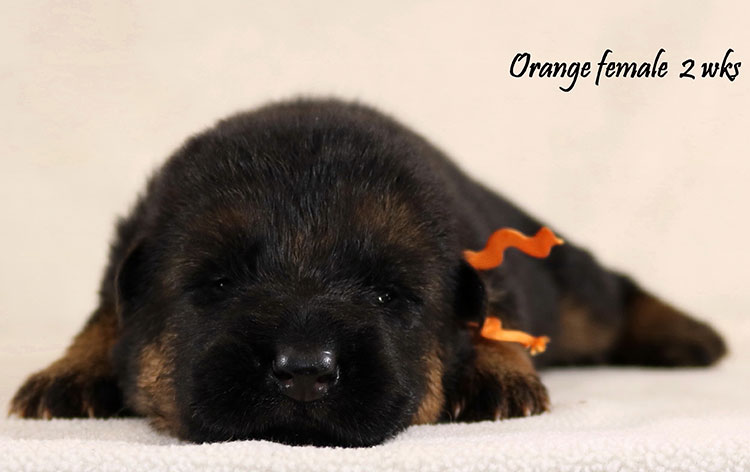 Obi x Cira - 2 Weeks Orange Collar Female