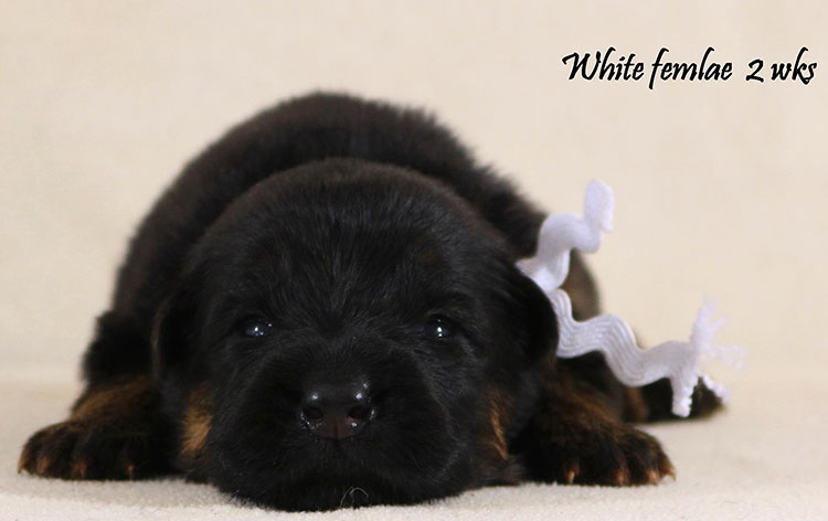 Obi x Cira - 2 Weeks White Collar Female