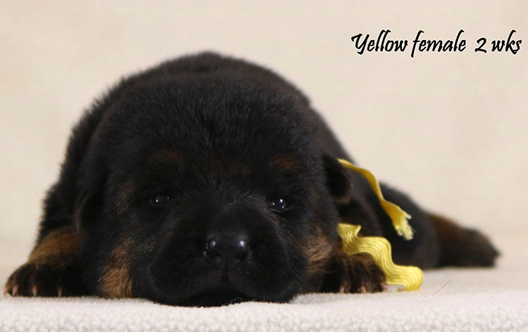 Obi x Cira - 2 Weeks Yellow Collar Female