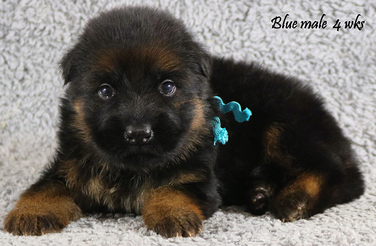 Obi x Cira - 4 Weeks Blue Collar Male