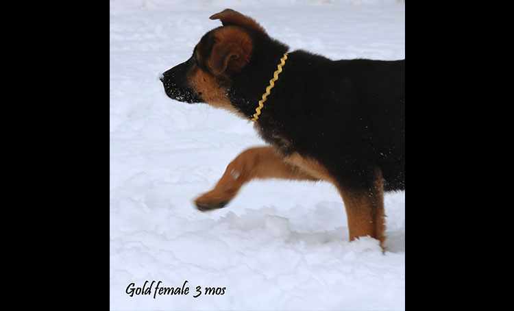 Philly x Solo - 3 Months Gold Collar Female
