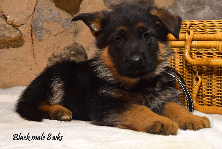 Solo x Anadja - 8 Weeks Black Collar Male