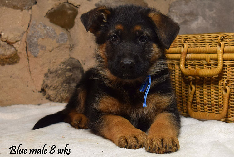 Solo x Anadja - 8 Weeks Blue Collar Male