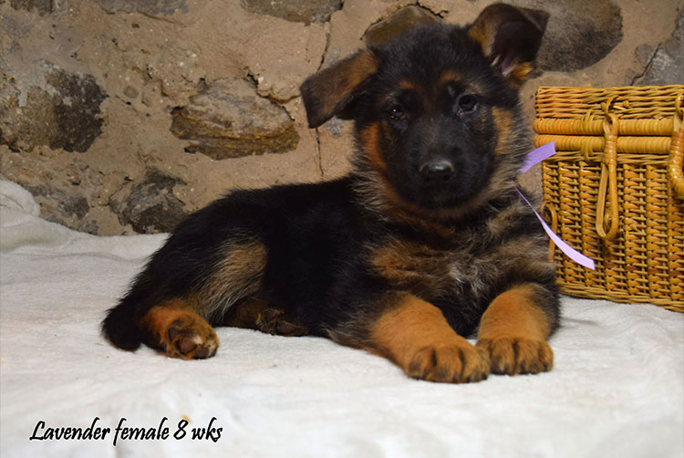 Solo x Anadja - 8 Weeks Lavender Collar Female