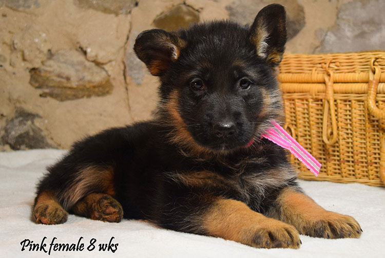Solo x Anadja - 8 Weeks Pink Collar Female