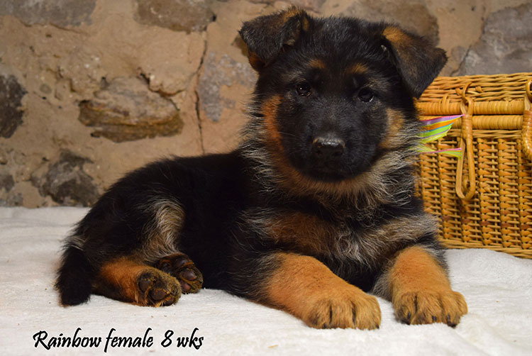 Solo x Anadja - 8 Weeks Rainbow Collar Female