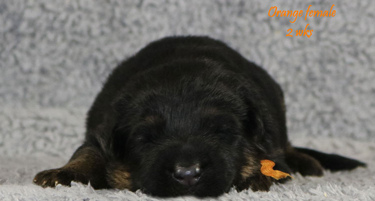 Solo x Bindi - 2 Weeks Orange Collar Female