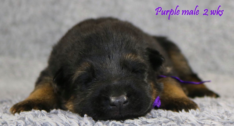 Solo x Bindi - 2 Weeks Purple Collar Male