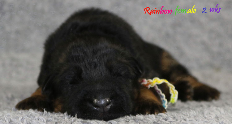Solo x Bindi - 2 Weeks Rainbow Collar Female