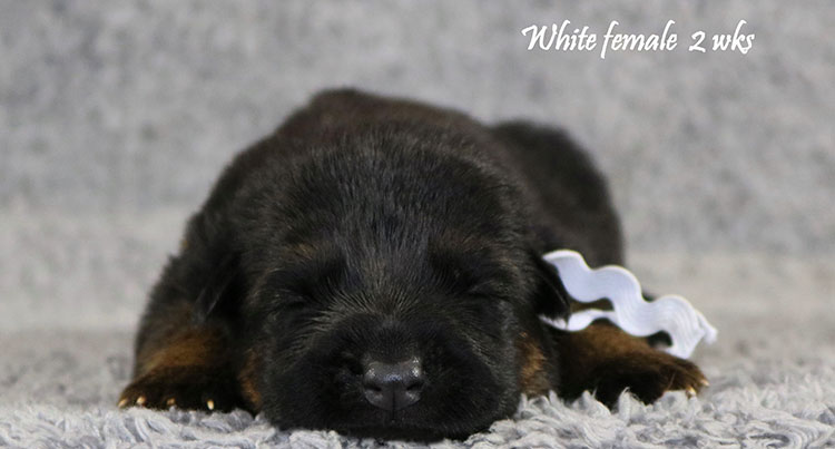 Solo x Bindi - 2 Weeks White Collar Female