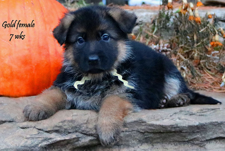Solo x Coby - 7 Weeks Gold Collar Female