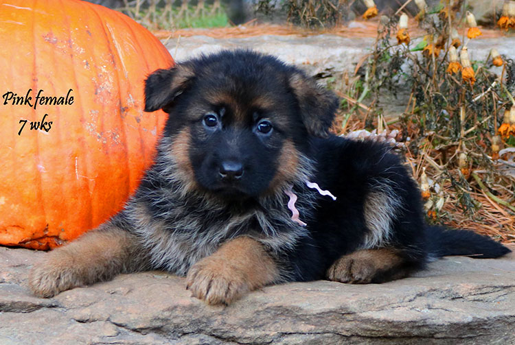 Solo x Coby - 7 Weeks Pink Collar Female
