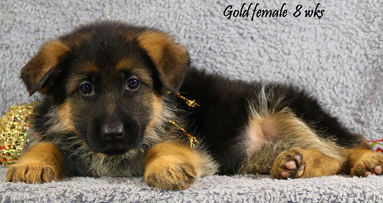Solo x Coby - 8 Weeks Gold Collar Female