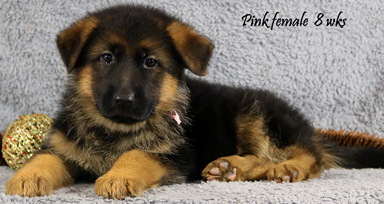 Solo x Coby - 8 Weeks Pink Collar Female