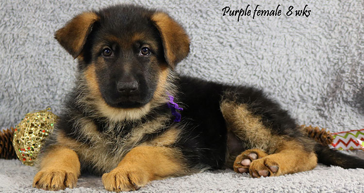 Solo x Coby - 8 Weeks Purple Collar Female