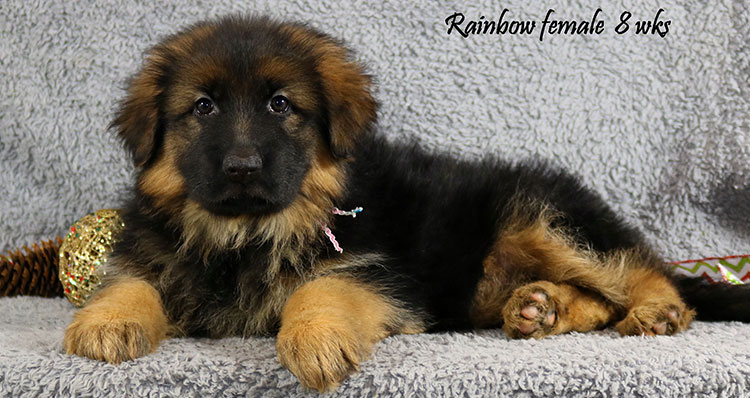 Solo x Coby - 8 Weeks Rainbow Collar Female