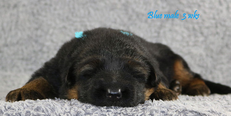 Solo x Envy - 3 Weeks Blue Collar Male