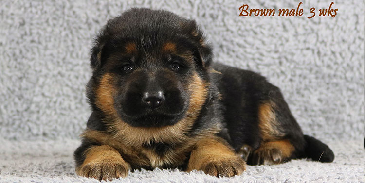 Solo x Envy - 3 Weeks Brown Collar Male