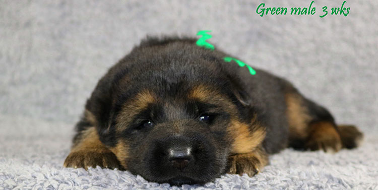 Solo x Envy - 3 Weeks Green Collar Male 2