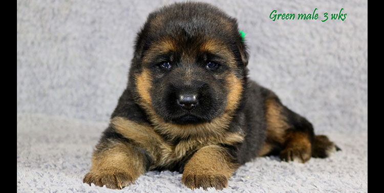 Solo x Envy - 3 Weeks Green Collar Male