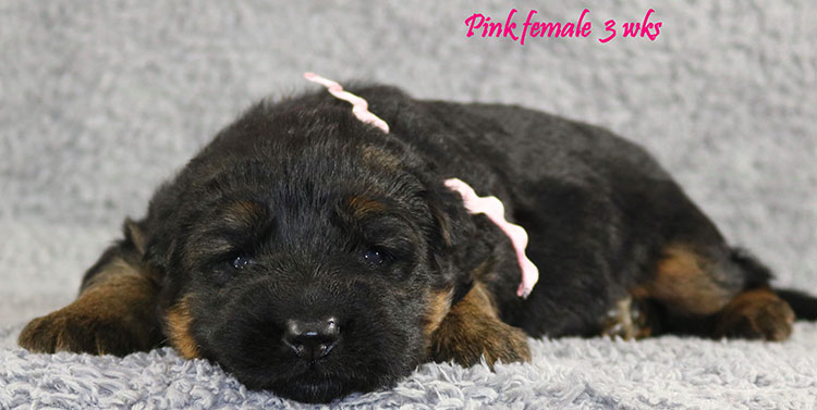 Solo x Envy - 3 Weeks Pink Collar Female