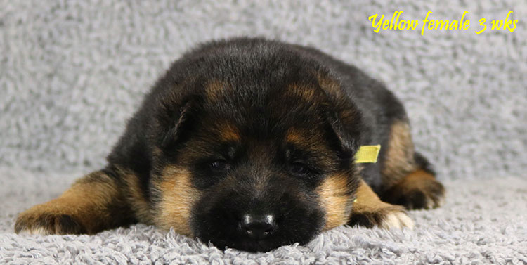 Solo x Envy - 3 Weeks Yellow Collar Female