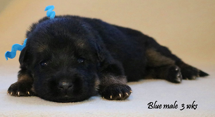 Solo x Kona - 3 Weeks Blue Collar Male