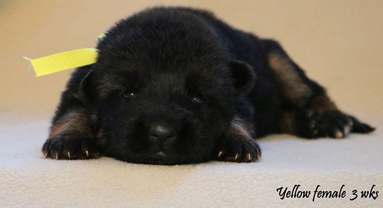 Solo x Kona - 3 Weeks Yellow Collar Female