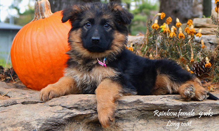 Solo x Philly - 9 Weeks Rainbow Collar Female 3