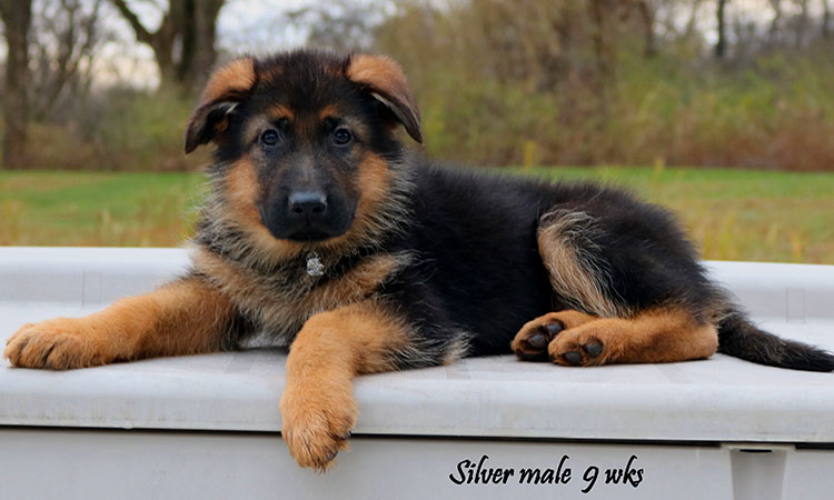 Solo x Philly - 9 Weeks Silver Collar Male 2
